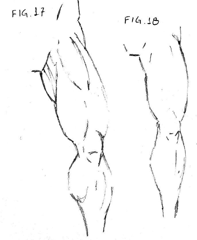 perna